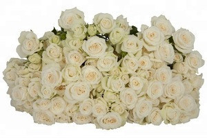 Unique White Export kenya fresh cut Spray Rose Flower For Birthday