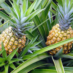 Wholesale Fresh Pineapple / Pineapple Fruit Price / Bulk Fresh Fruit Pineapple