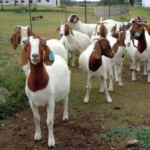 Live Dairy Cows and Pregnant Holstein Heifers Cow/ Alive Boer Goats/ Live Sheep/ Cattle