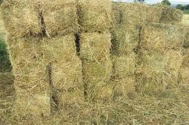 Premium Quality Rhodes Grass / Alfalfa Grass