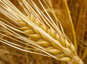 Best BARLEY from direct UKRAINE PRODUCER
