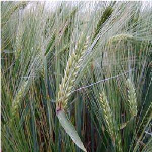 Barley GRain, Spain