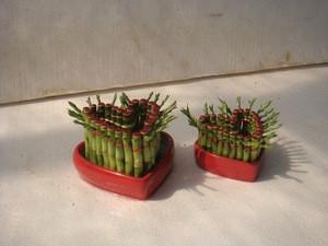 Heart lucky bamboo, dracaena sanderiana, bonsai
