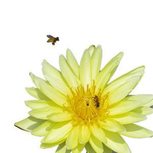 Fresh Blooming flower tea lotus weight tea herbal tea loose