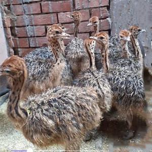 Pure Bred Ostrich Chicks Available