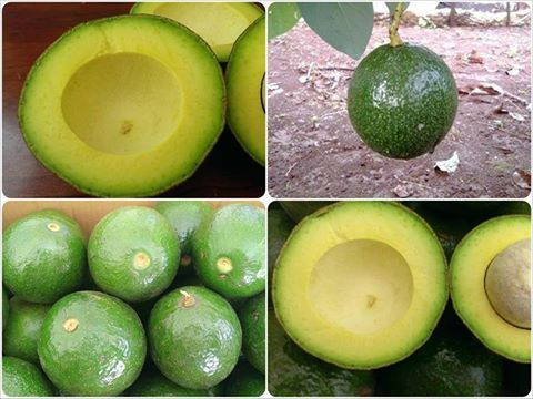 Fresh Avocado Fruit