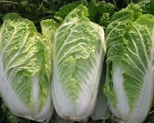 Fresh Celery Cabbage.
