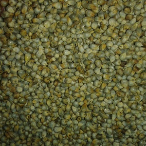 Green Millet Supplier from india