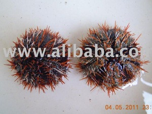 Collector Sea Urchin - Tripneustes Gratilla