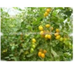 Farm Fresh Crown Small Yellow Tomato