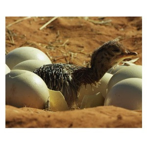 Ostrich Hatching eggs Wholesale dealer 100% Premium quality cheap rate Bulk Quantity available