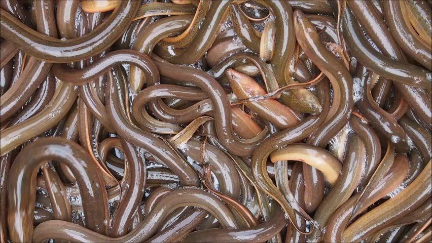 Live Eel