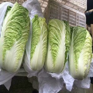 Fresh Celery Cabbage /CELERY CABBAGE/New harvest fresh celery cabbage