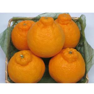 Famous import juicy orange king cultivated fresh citrus fruit