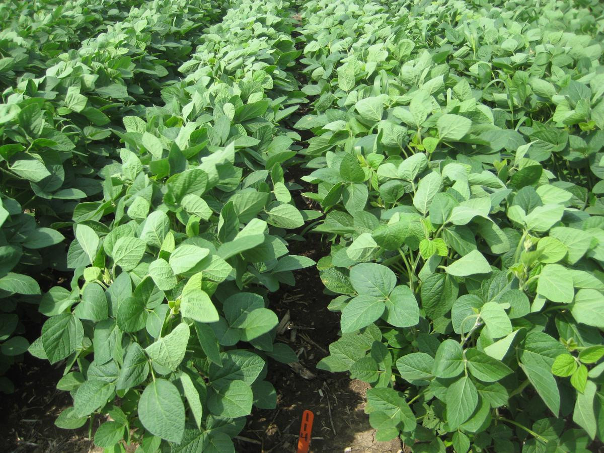 High Quality GMO Soybean SBDM For Making Animal Feed With Fast Delivery